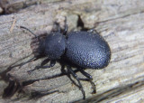 Blapylis Darkling Beetle species