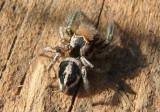 Habronattus viridipes; Jumping Spider species; male