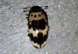 Ischyrus quadripunctatus; Four-Spotted Fungus Beetle