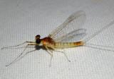 Maccaffertium terminatum; Stream Mayfly species