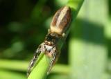 Marpissa formosa; Jumping Spider species; female