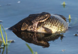 Northern Water Snake with fish