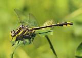 Phanogomphus graslinellus; Pronghorn Clubtail; male