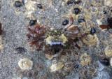 Striped Shore Crab; juvenile