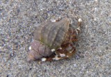 Hairy Hermit Crab inhabiting Wrinkled Dogwinkle Shell