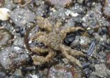 Graceful Decorator Crab