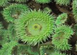 Green Sea Anemones