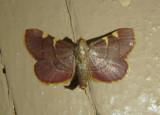 5533 - Dolichomia olinalis; Yellow-fringed Dolichomia