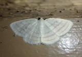 6680 - Cabera quadrifasciaria; Four-lined Cabera Moth