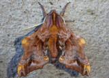7825 - Paonias myops; Small-eyed Sphinx