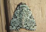 9065 - Leuconycta diphteroides; Green Leuconycta