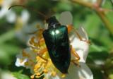 Gaurotes cyanipennis; Flower Longhorn species