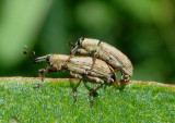 Listronotus Underwater Weevil species pair