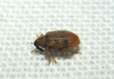 Orchestes steppensis; European Elm Flea Weevil; exotic