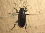 Strongylium tenuicolle; Darkling Beetle species