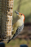 red-bellied_woodpecker