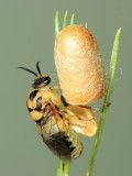 Introduced Pine Sawfly (Diprion similis)