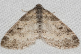 7640 Powdered Bigwing (Lobophora nivigerata)