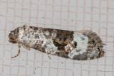 3589 (Apotomops wellingtoniana)