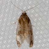 3798 Cone Cochylid Moth (Henricus fuscodorsana)