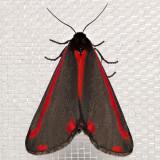 8113 Cinnabar Moth (Tyria jacobaeae)