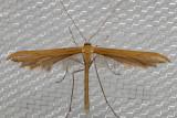 6234 Morning-glory Plume Moth (Emmelina monodactyla)