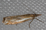 5345 Whitmer's Sod Webworm Moth (Crambus whitmerellus)