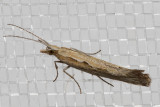 2366 Diamondback Moth (Plutella xylostella)