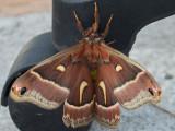 7770 Ceanothus Silkmoth (Hyalophora euryalus euryalus)
