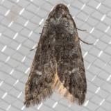 2319 Crescent-marked Bondia (Bondia crescentella)