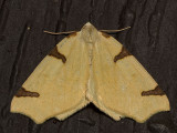 6860  (Neoterpes trianguliferata)