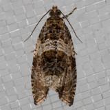 2770 Dusky Leafroller (Orthotaenia undulana)