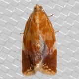 3682 WhiteTriangleTortrix(Clepsispersicana)