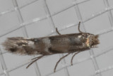0802.97 Unidentified Phylonorycter