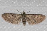 7474 Common Eupithecia (Eupithecia miserulata)