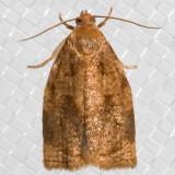 3650RoseTortrixMoth(Archipsrosana)