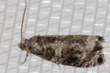 2821 ServiceberryLeafroller  (Olethreutesappendiceum)