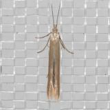 1283(Coleophoracretaticostella) (T)