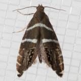 2339(Glyphipterixbifasciata)
