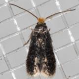 Pygmy Leafmining Moths (Nepticuloidea)