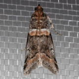 5655 TricoloredAcrobasisMoth   (Acrobasistricolorella)