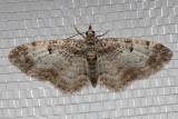 7570 (Eupithecia johnstoni)