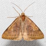 8739ForageLooper    (Caenurginaerechtea)