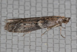 6000 Dusky Raisin Moth   (Ephestiodes gilvescentella)