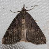 8461 HopVineMoth(Hypenahumuli)