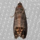 3492 CodlingMoth(Cydiapomonella)