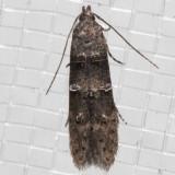 1633 Midrib Gall Moth (Sorhagenia nimbosa)