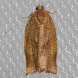 3635 Oblique-banded Leafroller (Choristoneura rosaceana)