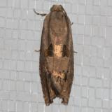 3494FilbertwormMoth (Cydialatiferreana)