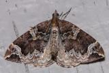 7207 Northwestern Phoenix moth (Eulithis xylina)